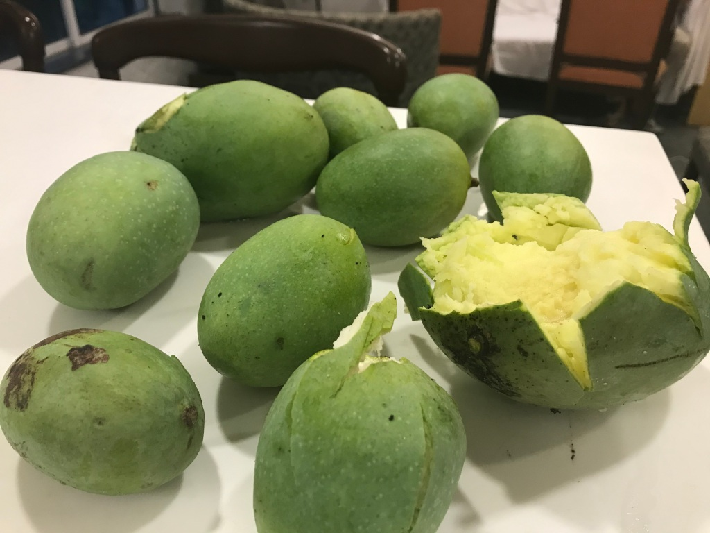 First harvest of mangoes